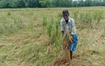 Paddy-crops-damaged-by-heavy-rains-in-Thiruvarur-district