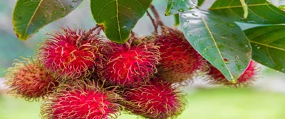 Courtallam-farmers-worried-No-price-from-rambutan-yields