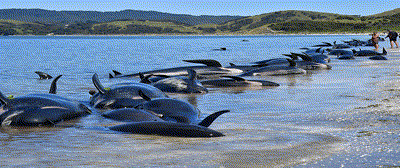 400-pilot-whales-dead-in-largest-mass-stranding-ever-recorded-in-Australia--nearly-500-still-stranded-in-Tasmania